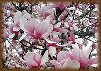 magnolia7_b
