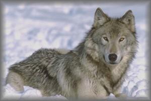 lobo13